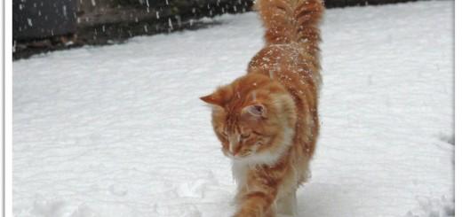 Katinas sniege